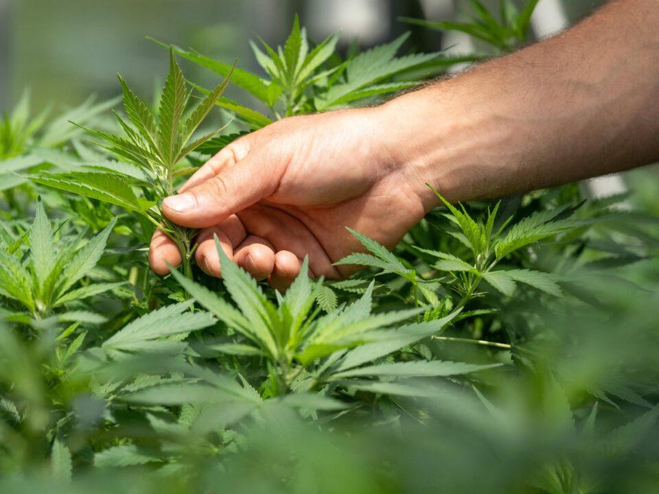 raccolta cannabis light crystalweed