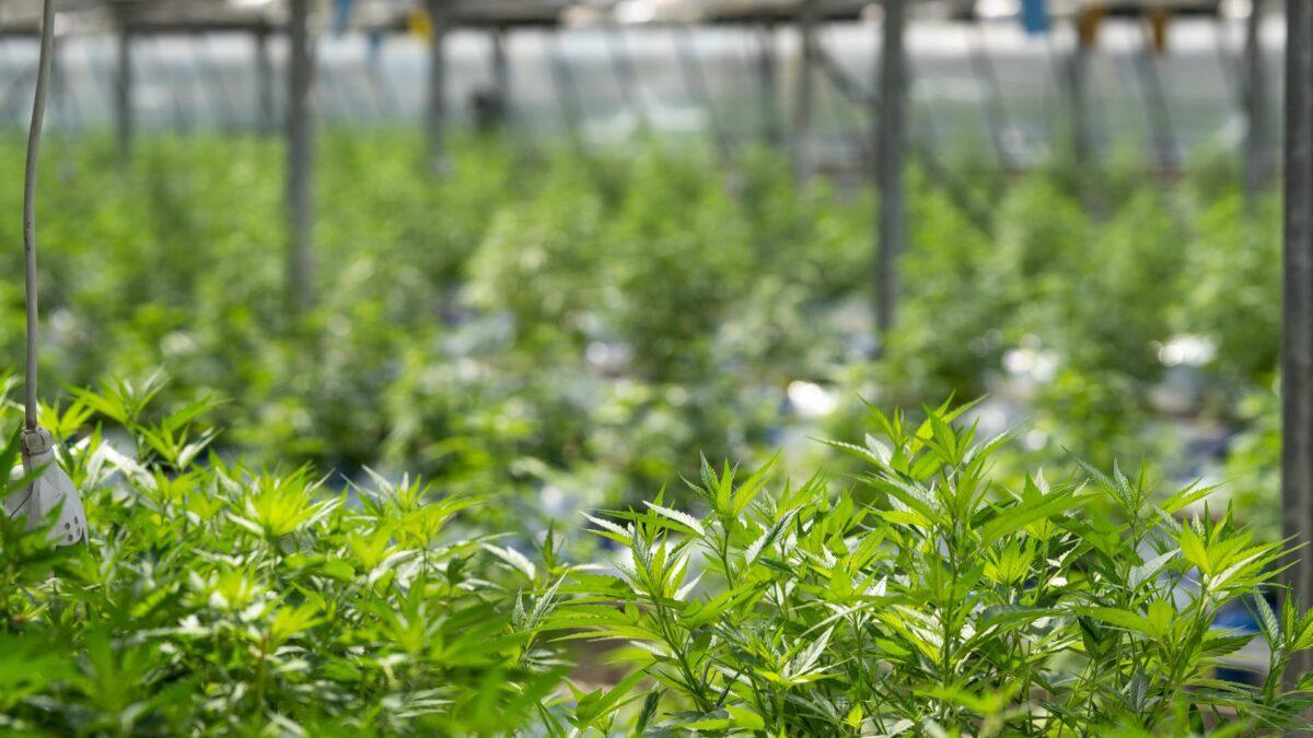 costo erba legale all'ingrosso
