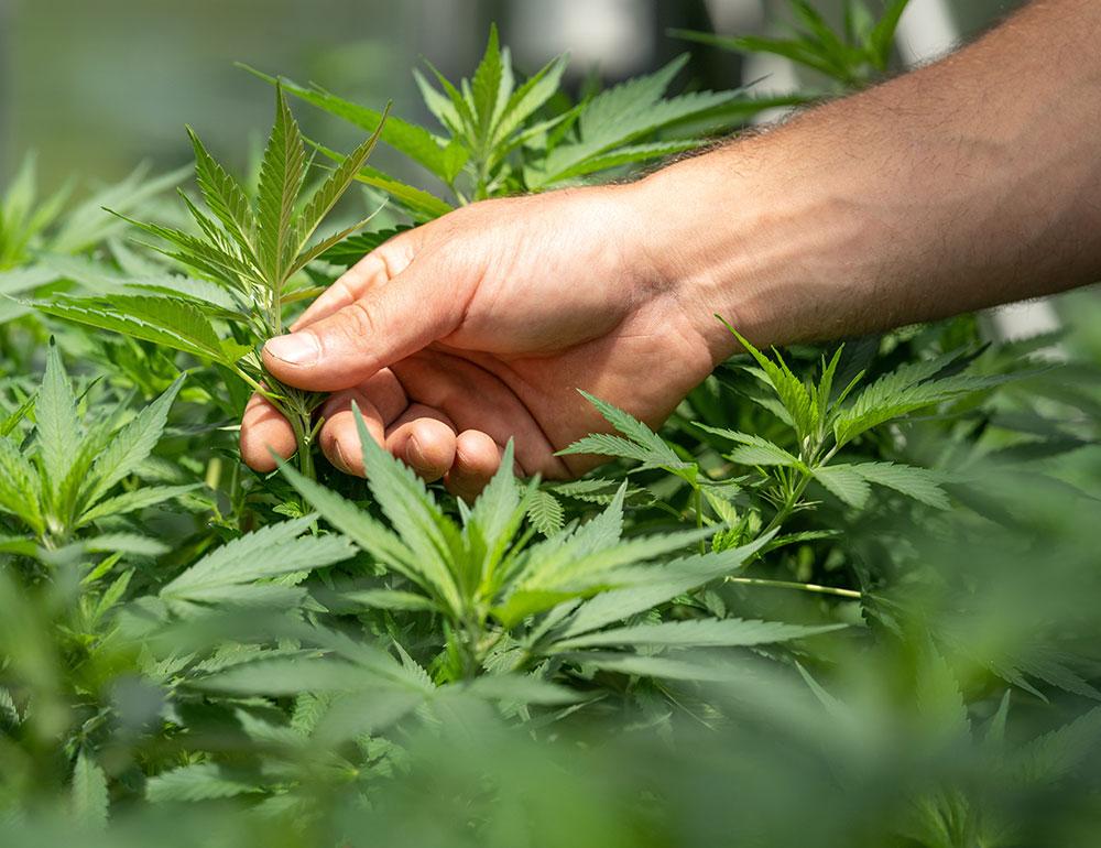 cannabis light crystalweed